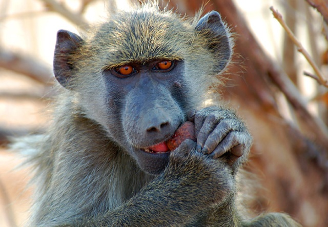 Chacma Baboon eating fruit, Ihaha area, Chobe National Park, Botswana