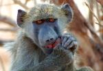 Chacma Baboon eating fruit, Ihaha area, Chobe National Park, Botswana