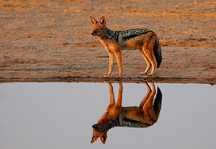 Black-Backed Jackal and Reflection, Rhino Vlei, Savute area of Chobe National Park, Botswana