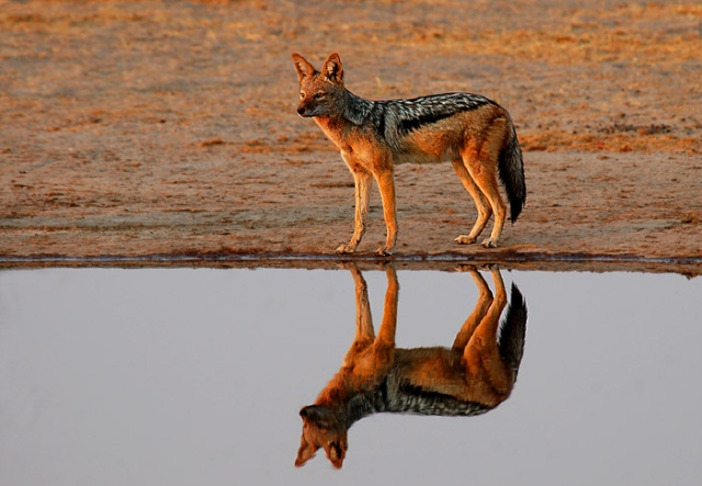 Black-Backed Jackal and Reflection, Rhino Vlei, Savute area of Chobe National Park, Botswana