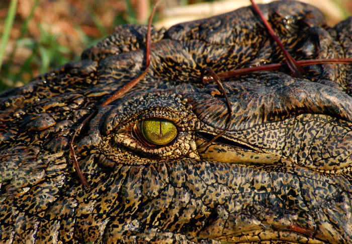 Crocodile Eye, Chobe River, Chobe National Park, Botswanna