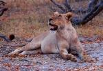 Female Lion Looking Up, Xakanaxa Area, Moremi Game Reserve, Okavango Delta, Botswana