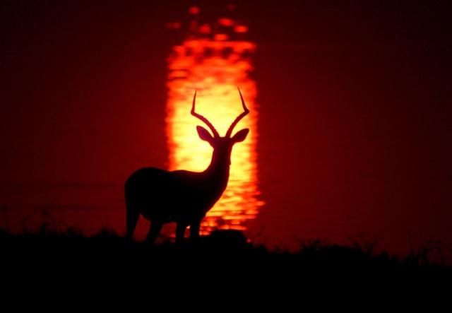Impala buck Silhouetted by Sunset on Chobe River, Botswana