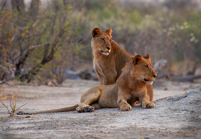 Lion Brother and Sister, Savute, Chobe National Park, Botswana