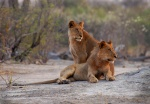 Lion Brother and Sister, Savute, Chobe National Park, Botswana