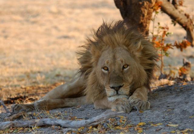 Male Lion resting his head on his paws, Xakanaxa Area, Moremi Game Reserve, Okavango Delta, Botswana