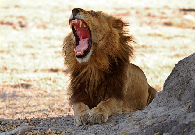 Male Lion Yawning, Xakanaxa Area, Moremi Game Reserve, Okavango Delta, Botswana