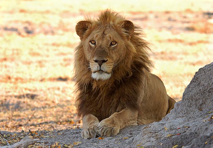 Male Lion, Xakanaxa Area, Moremi Game Reserve, Okavango Delta, Botswana