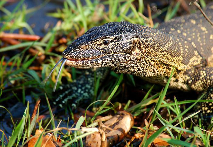 Monitor Lizard, Chobe River, Chobe National Park, Botswanna