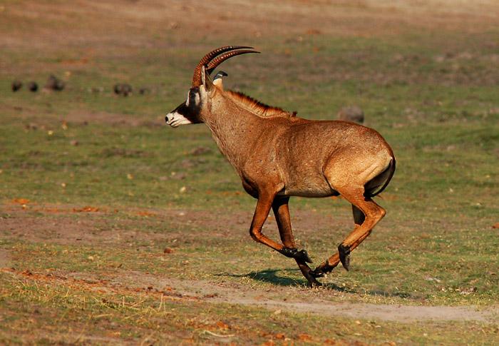 Roan Antelope running, Chobe National Park, Botswana