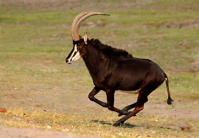 Sable Antelope Running, Chobe Riverbank, Botswana