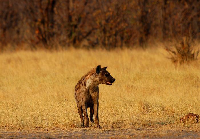 Spotted Hyena, Rhino Vlei Waterhole, Savute, Chobe National Park, Botswana
