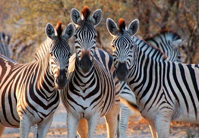 Three Friends, Boteti Riverbed, Makgadikgadi Pans Game Reserve, Botswana