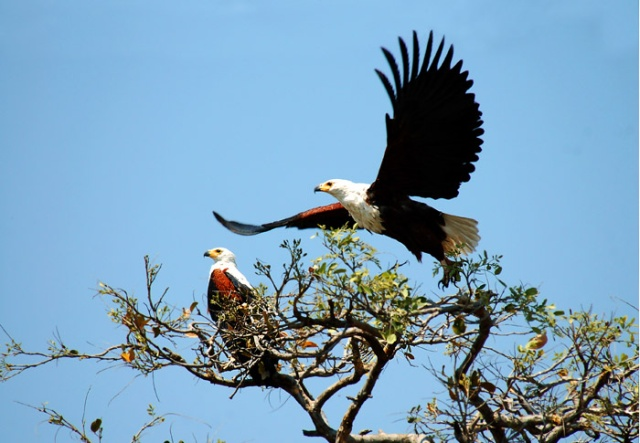 Fish Eagle Taking Flight, Chobe National Park, Botswana