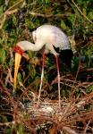 Yellow-billed Stork on Nest, Okavango Delta, Moremi Game Reserve, Botswana