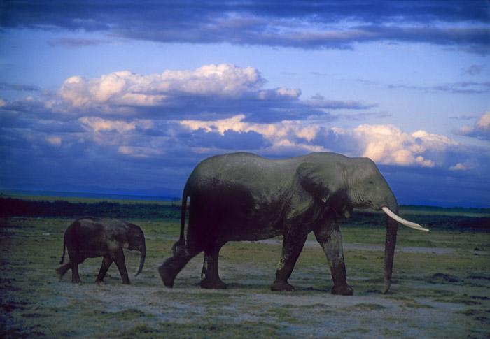Amboseli elephant with young, Kenya