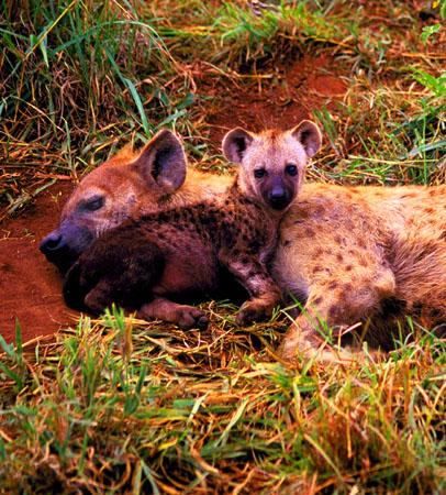 Hyena Pup and Mother Masai Mara National Reserve Kenya