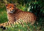 Young Cheetah Masai Mara National Reserve Kenya