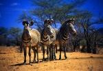 Grevy's Zebras Samburu National Park Northern Kenya