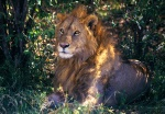 Male Lion Masai Mara Reserve Kenya