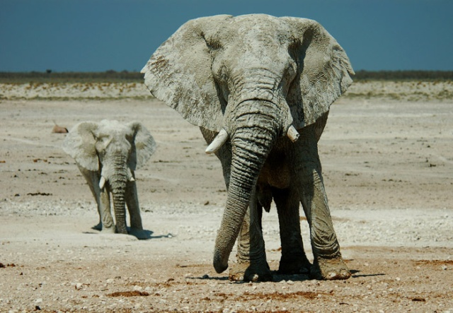 Napping Elephants, Nebrownii Waterhole, Etosha National Park, Namibia