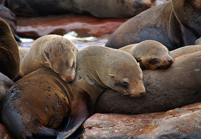 Cape Fur Seals, Cape Cross Seal Preserve, Skeleton Coast, Namibia