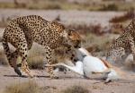 Cheetah Dragging Springbok Carcass, Etosha National Park, Namibia