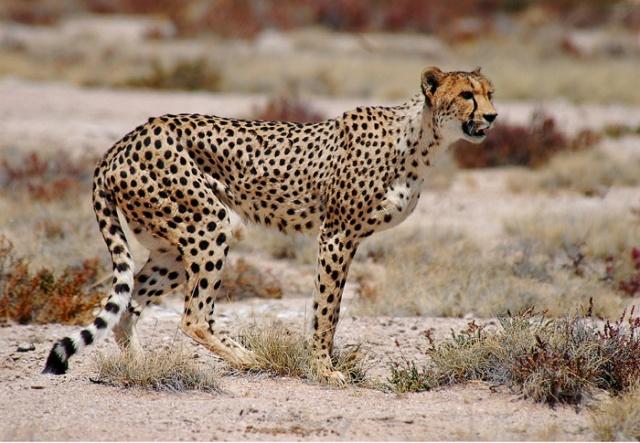 Cheetah - Etosha National Park, Namibia