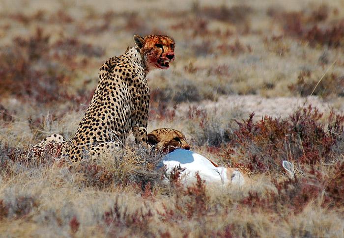 Cheetahs feeding on Springbok Kill, Etosha National Park, Namibia