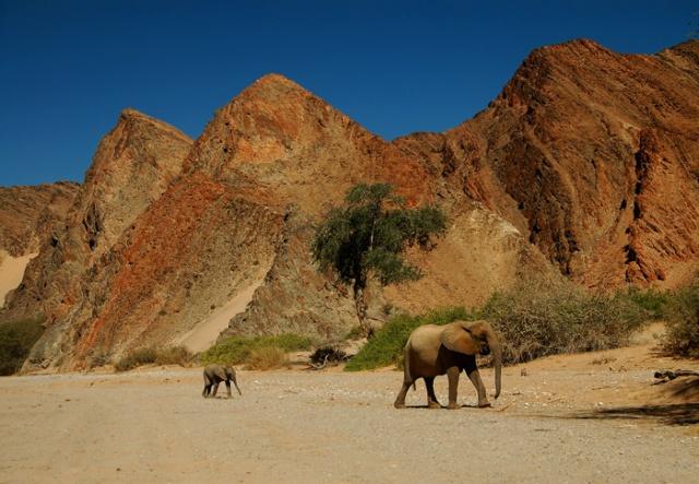 Desert Elephant Calf and Mother, Hoanib Riverbed, Kaokoveld, Namibia