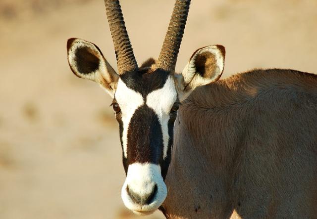 Gemsbok Oryx face-on, Hoanib Riverbed, Namibia