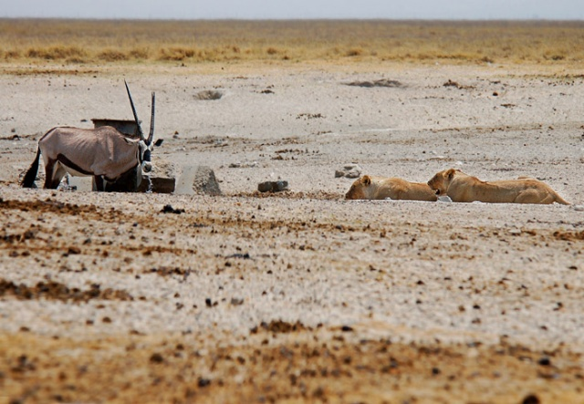 Old Lame Gemsbok at Andoni Waterhole with Lions just yards away; Etosha National Park, Namibia
