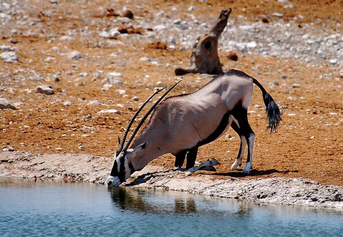 Gemsbok kneeling to drink, Olifantsbad Waterhole, Etosha National Park, Namibia