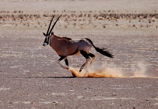 Gemsbok Running, Kaokoveld Wilderness, Northwest Namibia