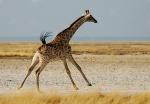 Giraffe Running, Fisher Pan, Etosha NP, Namibia