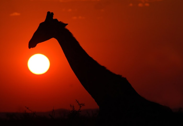 Giraffe Silhouette and Sunset, Etosha National Park, Namibia