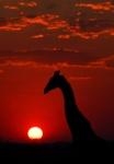 Giraffe Silhouette and Sunset (Vertical), Etosha National Park, Namibia