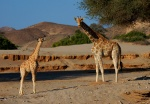 Giraffe Mother and Baby, Hoanib Riverbed, Kaokoveld, Namibia