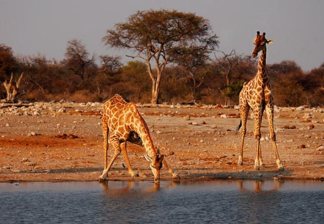Giraffes Drinking, Klein Namutoni Waterhole, Etosha National Park, Namibia