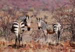 Mountain Zebra mare and colt, Grootberg Pass, Namibia