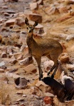 Young Klipspringer Male, Namib-Naukluft National Park, Namibia