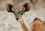 Greater Kudu Female, Tsumcor Waterhole, Etosha NP, Namibia
