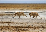 Closing in for the Kill, Etosha National Park, Namibia