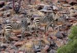 Mountain Zebra family, Klein Serengeti, Ombonde River area, Kaokoveld, Namibia
