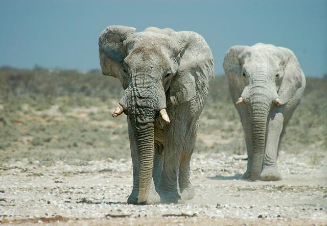 Bull Elephants Approaching Nebrownii Waterhole, Etosha National Park, Namibia