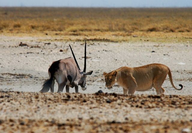 Showdown at High Noon, Andoni Waterhole, Etosha National Park, Namibia