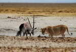 Showdown at High Noon, Andoni Waterhole, Etosha National Park, Namibia
