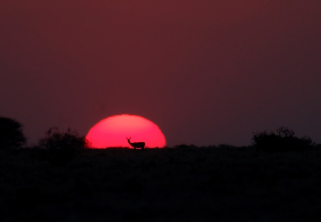 Springbok Antelope Silhouetted against Setting Sun, Halali Area, Etosha National Park, Namibia