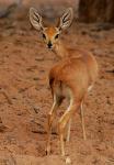 Steenbok Antelope, Ombonde Riverbed, Northwest Namibia