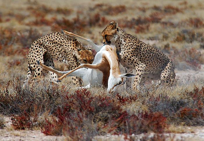 Two Cheetahs Dragging a Springbok Carcass, Etosha National Park, Namibia